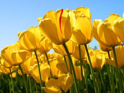 Tulpen als Symbolbild